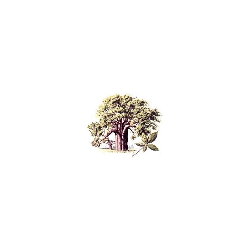 Lot 100 Graines seeds Baobab geant adansonia digitata